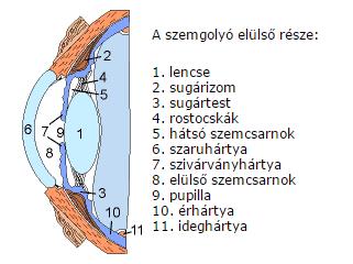 a szemgolyó elülső része