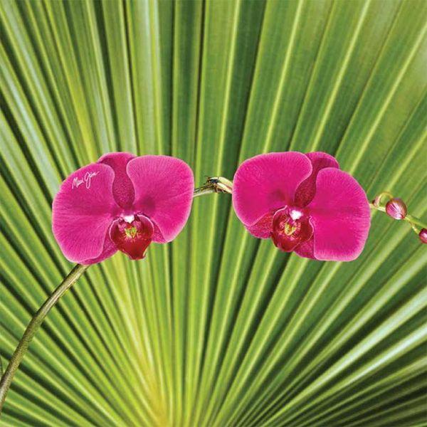 Maui Jim orchidea